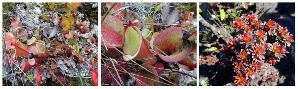 plantas monte roraima