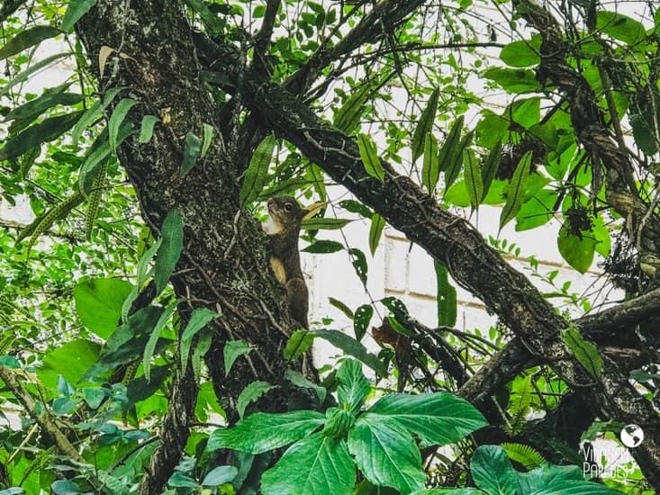 esquilo monte verde